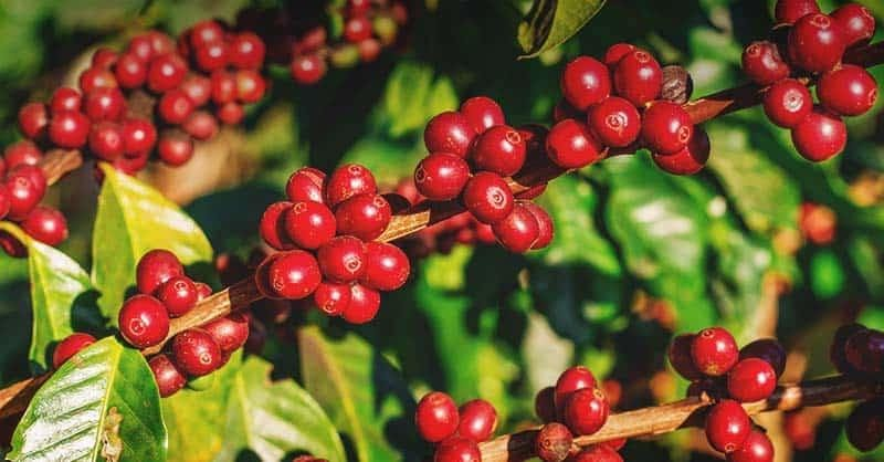 The differences between organic and non-organic coffee - Planting process