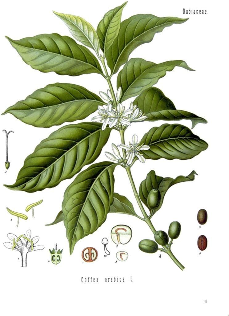 Varieties of Coffee Plants - 1